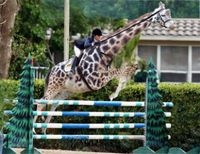 Giraffe,jumping