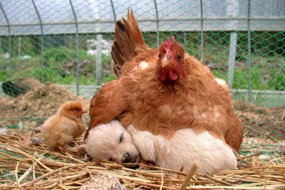 Chicken_puppy_chick