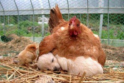 Chicken_puppy_chick