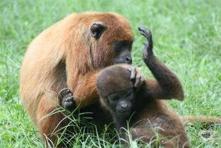 Monkeys-playing