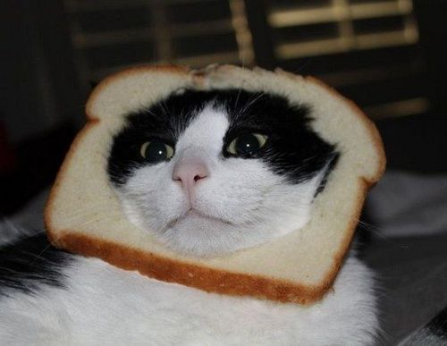 Inbread-cat-photos2.jpg.pagespeed.ce.S5O4xwgKc9