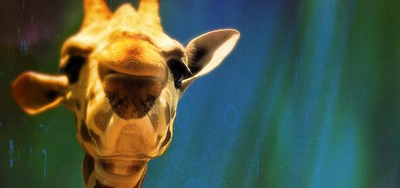 Oliver the giraffe (detail), 2015, Courtesy of Victoria Gray